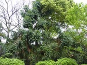 Brazil_pine